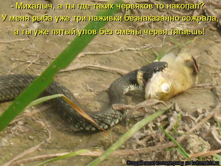 Котоматрица: - Михалыч, а ты где таких червяков то накопал?  У меня рыба уже три наживки безнаказанно сожрала,  а ты уже пятый улов без смены червя тягаешь!