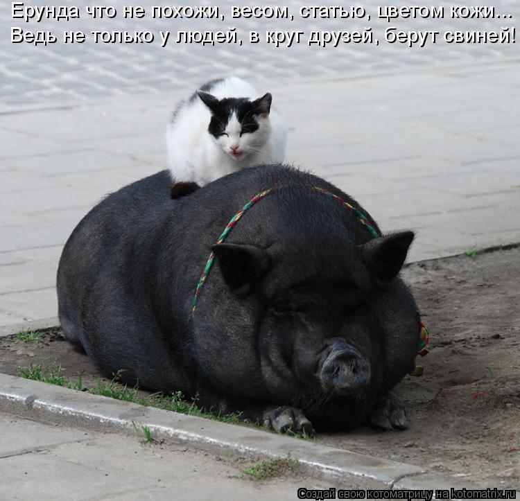 Котоматрица: Ерунда что не похожи, весом, статью, цветом кожи... Ведь не только у людей, в круг друзей, берут свиней!