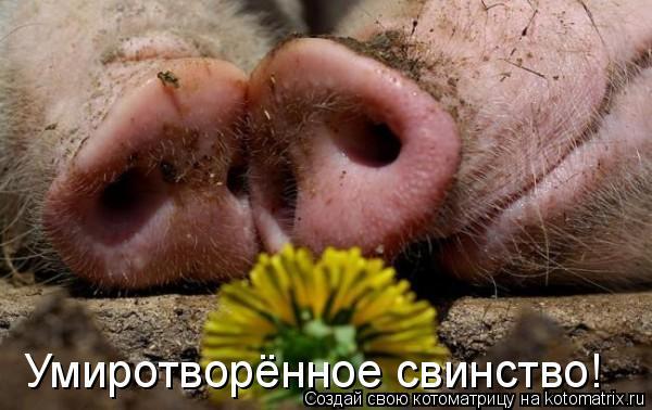 Котоматрица: Умиротворённое свинство!