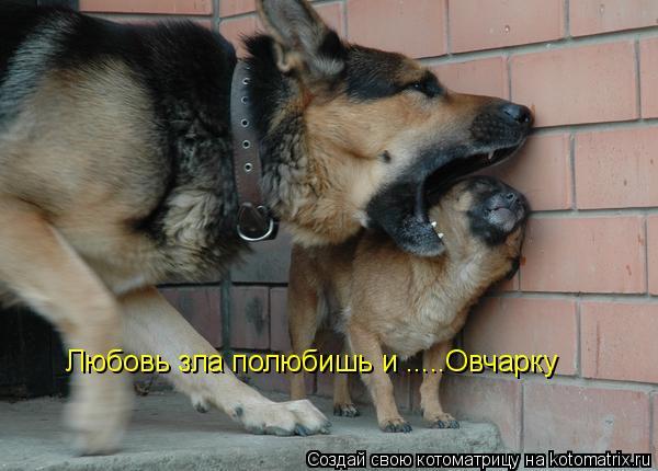 Котоматрица: Любовь зла полюбишь и .....Овчарку Любовь зла полюбишь и .....Овчарку