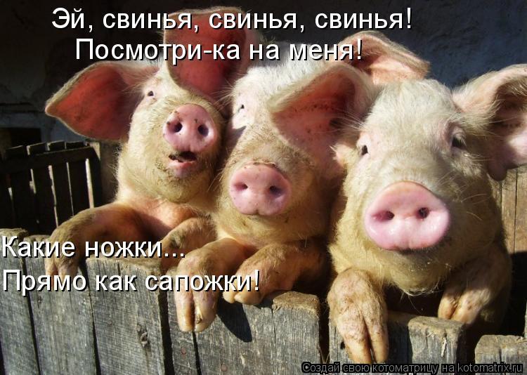 Котоматрица: Эй, свинья, свинья, свинья! Посмотри-ка на меня! Какие ножки... Прямо как сапожки!