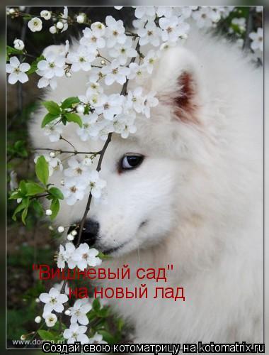 """Котоматрица: """"Вишневый сад""""  на новый лад"""