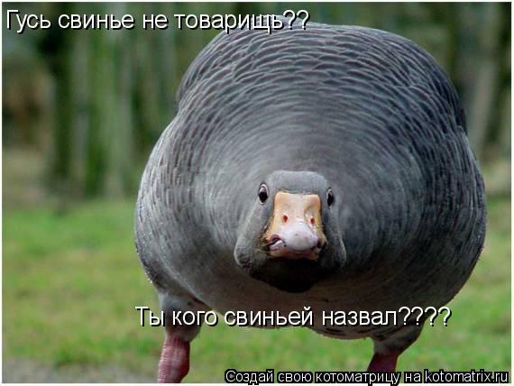 Котоматрица: Гусь свинье не товарищь?? Ты кого свиньей назвал????