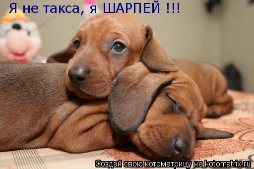 Котоматрица: Я не такса, я ШАРПЕЙ !!!
