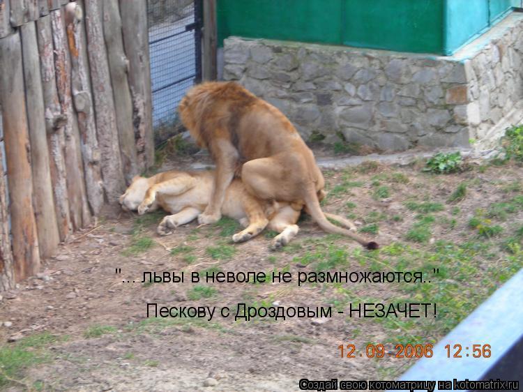 """Котоматрица: """"... львы в неволе не размножаются.."""" """"... львы в неволе не размножаются.."""" Пескову с Дроздовым - НЕЗАЧЕТ!"""