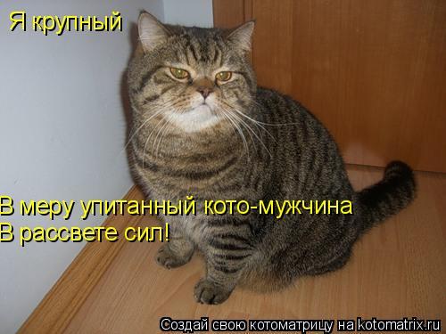 Котоматрица: Я крупный  В меру упитанный кото-мужчина В рассвете сил!