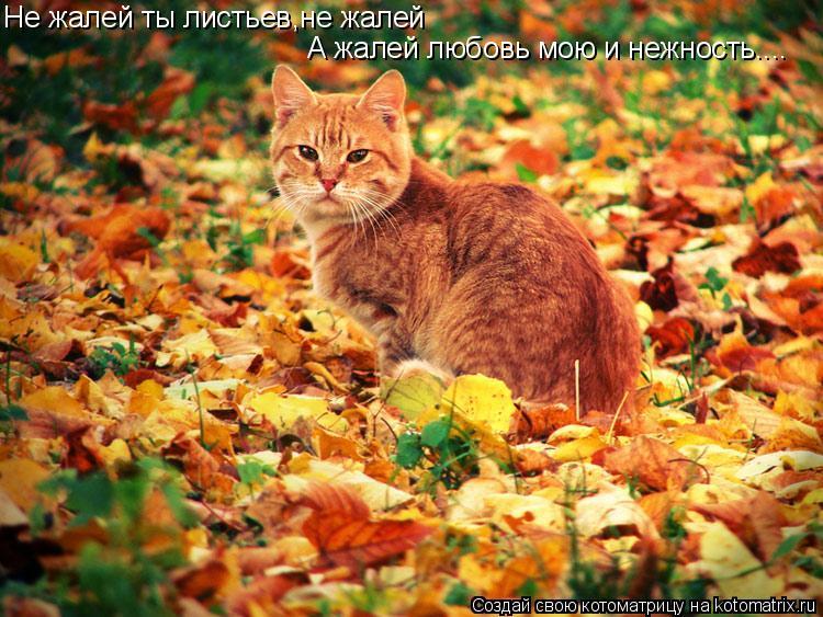 Котоматрица: Не жалей ты листьев,не жалей А жалей любовь мою и нежность....