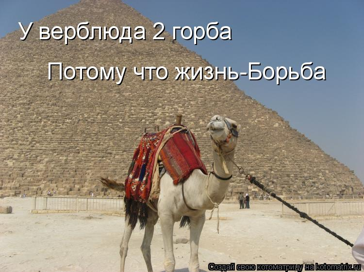 Котоматрица: У верблюда 2 горба У верблюда 2 горба Потому что жизнь-Борьба