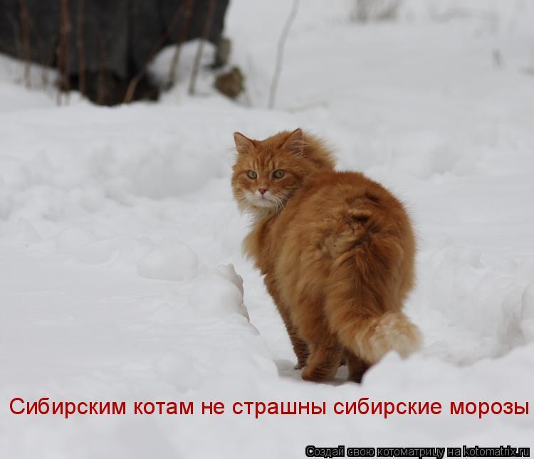 Котоматрица: Сибирским котам не страшны сибирские морозы