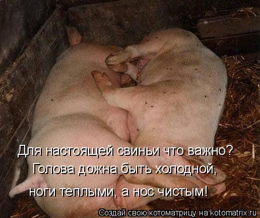 Котоматрица: Для настоящей свиньи что важно? Голова дожна быть холодной,  ноги теплыми, а нос чистым!