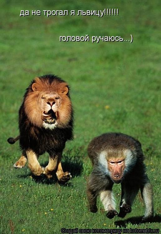 Котоматрица: да не трогал я львицу!!!!!! головой ручаюсь...)