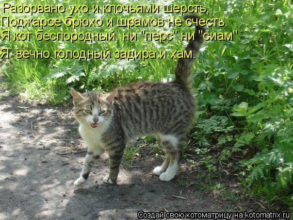 """Котоматрица: Разорвано ухо и клочьями шерсть, Поджарое брюхо и шрамов не счесть. Я кот беспородный, ни """"перс"""" ни """"сиам"""" Я  вечно голодный задира и хам."""