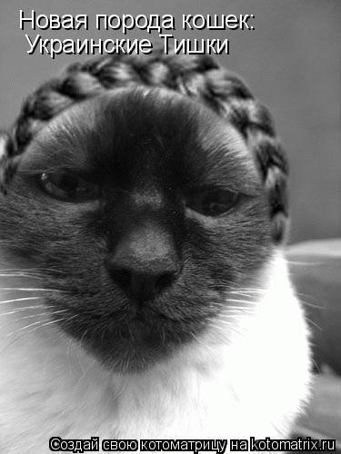 Котоматрица: Новая порода кошек: Украинские Тишки