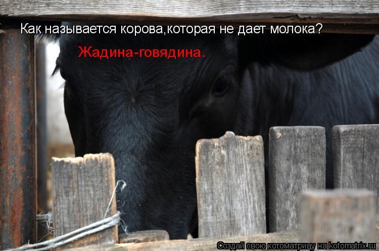 Котоматрица: Как называется корова,которая не дает молока? Жадина-говядина.