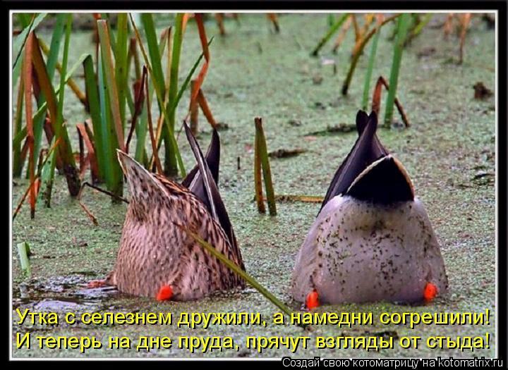 Котоматрица: Утка с селезнем дружили, а намедни согрешили! И теперь на дне пруда, прячут взгляды от стыда!