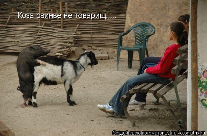 Котоматрица: Коза свинье не товарищ.....