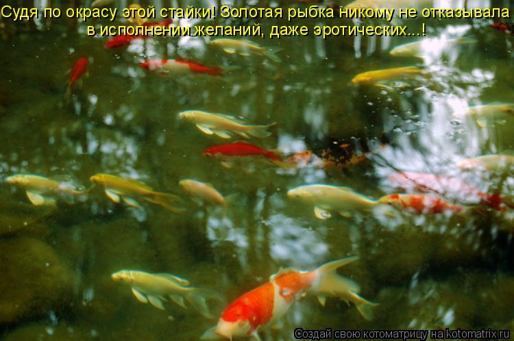 Котоматрица: Судя по окрасу этой стайки! Золотая рыбка никому не отказывала в исполнении желаний, даже эротических...!