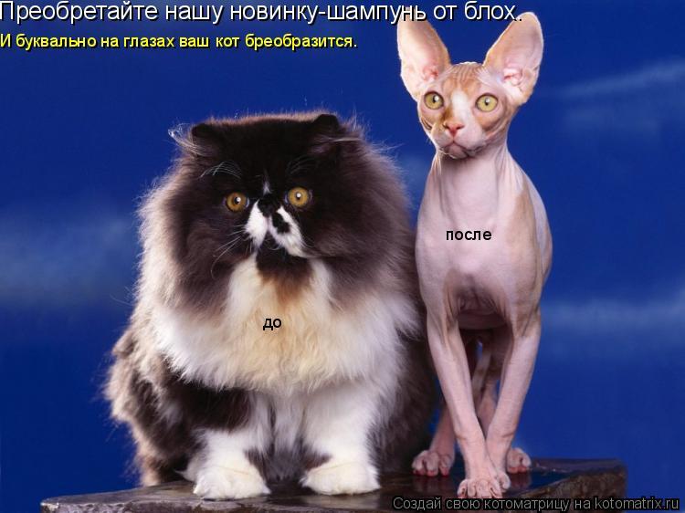 Котоматрица: Преобретайте нашу новинку-шампунь от блох. до после И буквально на глазах ваш кот бреобразится.