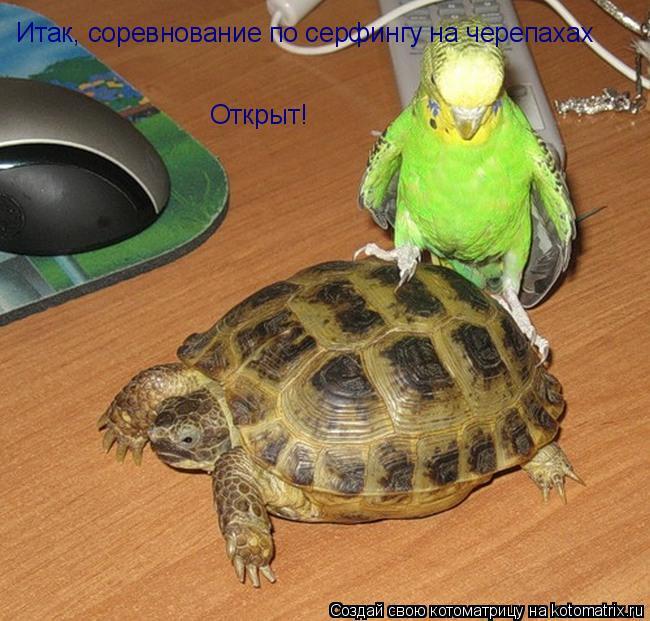Котоматрица: Итак, соревнование по серфингу на черепахах  Открыт!