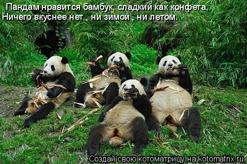 Котоматрица: Пандам нравится бамбук, сладкий как конфета,  Ничего вкуснее нет , ни зимой , ни летом.