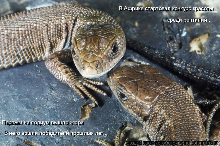 Котоматрица: В Африке стартовал конкурс красоты  среди рептилий... В него вошли победители прошлых лет... Первым на подиум вышло жюри