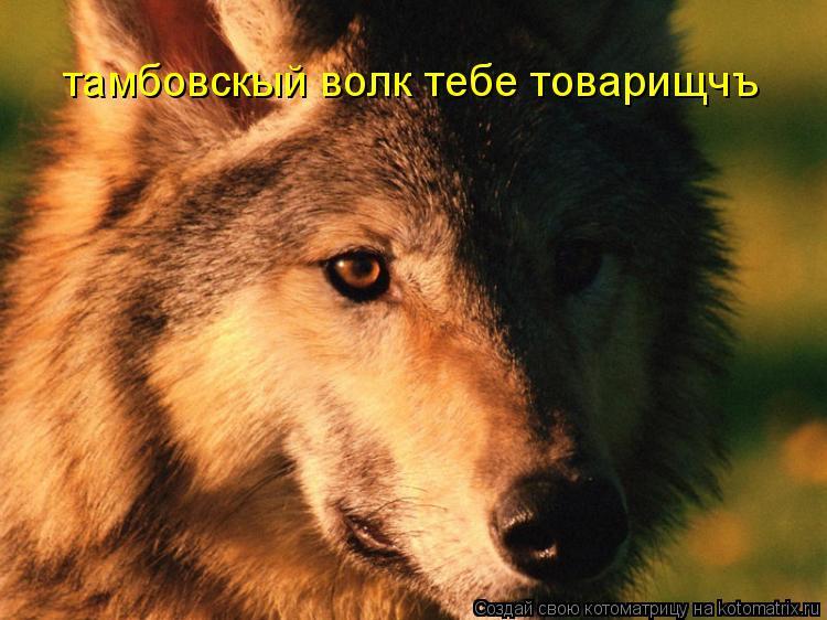 Котоматрица: тамбовскый волк тебе товарищчъ