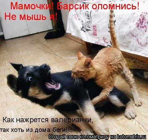 Котоматрица: Мамочки! Барсик опомнись! Не мышь я! Как нажрется валерианки, так хоть из дома беги!!!