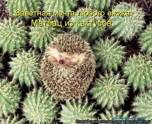 Котоматрица: Заветная мечта любого ежика: Матрац из кактусов.