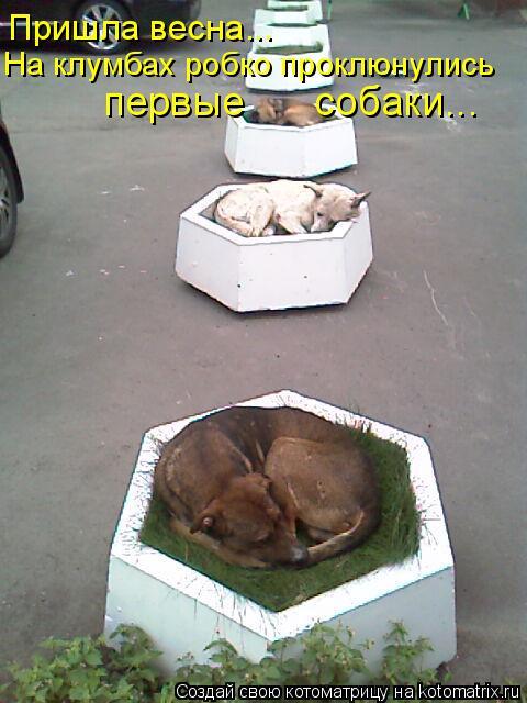 Котоматрица: Пришла весна... На клумбах робко проклюнулись первые      собаки...