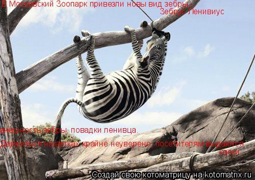Котоматрица: В Московский Зоопарк привезли новы вид зебры -  Зебрус Ленивиус внешность зебры, повадки ленивца. Держиться на ветках крайне неуверено, пос