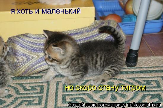 Котоматрица: я хоть и маленький  но скоро стану тигром
