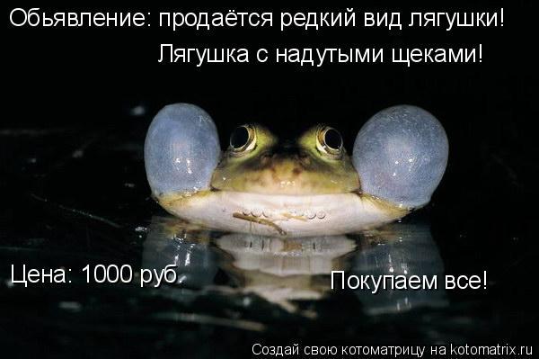 Котоматрица: Обьявление: продаётся редкий вид лягушки! Лягушка с надутыми щеками! Цена: 1000 руб. Покупаем все!
