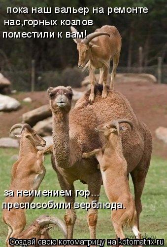 Котоматрица: пока наш вальер на ремонте нас,горных козлов  поместили к вам! за неимением гор... преспособили верблюда.