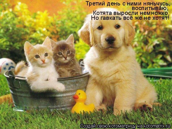 Котоматрица: Третий день с ними няньчусь, воспитываю, Котята выросли немножко, Но гавкать всё же не хотят!