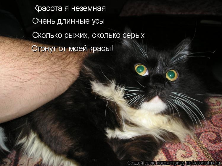 Котоматрица: Красота я неземная Очень длинные усы Сколько рыжих, сколько серых Стонут от моей красы!