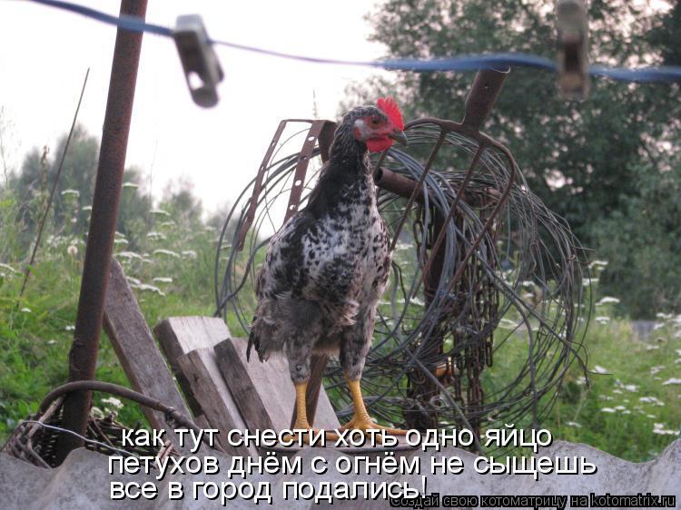 Котоматрица: как тут снести хоть одно яйцо петухов днём с огнём не сыщешь все в город подались!