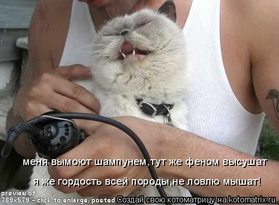Котоматрица: меня вымоют шампунем,тут же феном высушат я же гордость всей породы,не ловлю мышат!