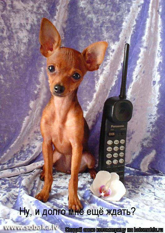 Карманные собачки и риск для здоровья.  Исключительно крошечные собачки оказываются подвержены многим...