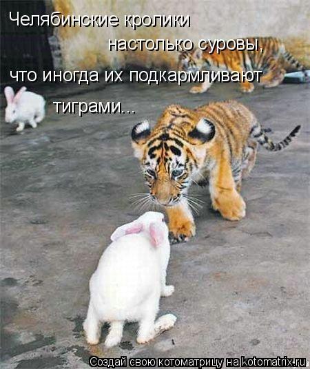 Котоматрица: Челябинские кролики  что иногда их подкармливают тиграми... настолько суровы,
