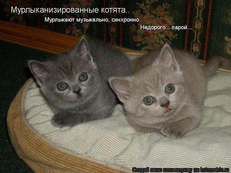 Котоматрица: Мурлыканизированные котята.. Мурлыкают музыкально, синхронно.. Недорого... парой...