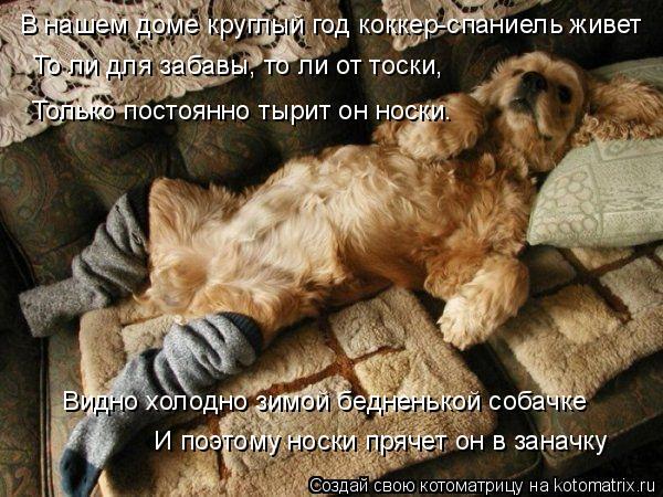 Котоматрица: В нашем доме круглый год коккер-спаниель живет  То ли для забавы, то ли от тоски, Только постоянно тырит он носки. Видно холодно зимой беднен