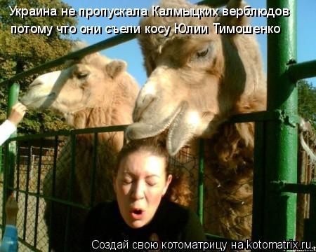 Котоматрица: Украина не пропускала Калмыцких верблюдов потому что они съели косу Юлии Тимошенко
