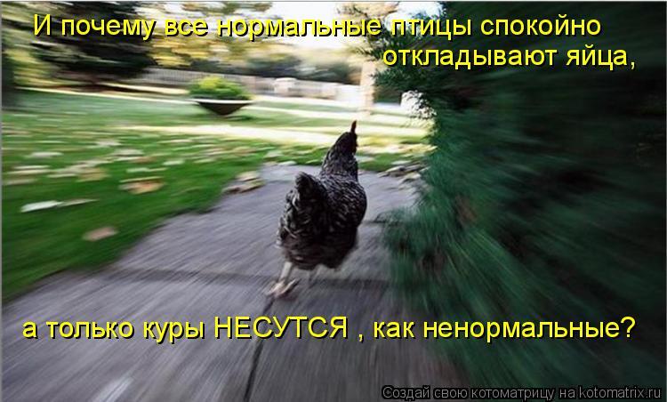 Котоматрица: И почему все нормальные птицы спокойно откладывают яйца, а только куры НЕСУТСЯ , как ненормальные?