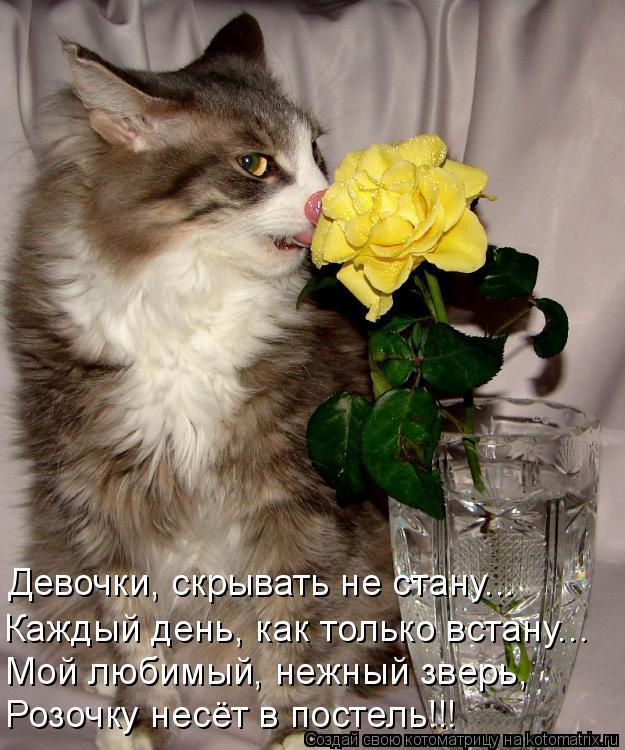 Котоматрица: Девочки, скрывать не стану... Каждый день, как только встану... Мой любимый, нежный зверь, Мой любимый, нежный зверь, Розочку несёт в постель!!!