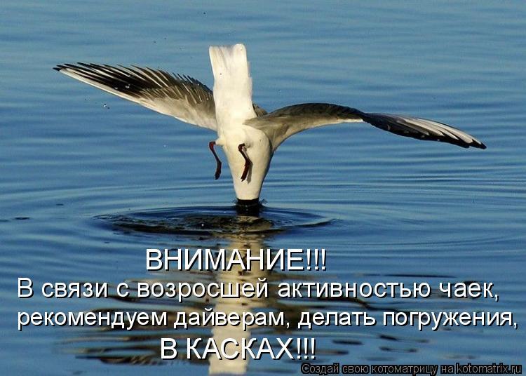Котоматрица: В связи с возросшей активностью чаек, рекомендуем дайверам, делать погружения, В КАСКАХ!!! ВНИМАНИЕ!!!