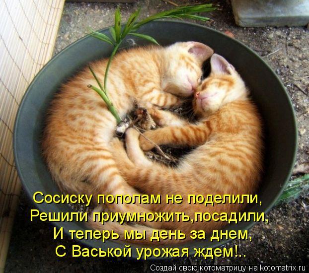 Котоматрица: Сосиску пополам не поделили, Решили приумножить,посадили, И теперь мы день за днем, С Васькой урожая ждем!..