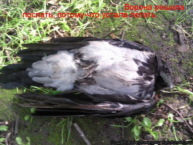Котоматрица: Ворона решила  поспать, потому-что устала летать.