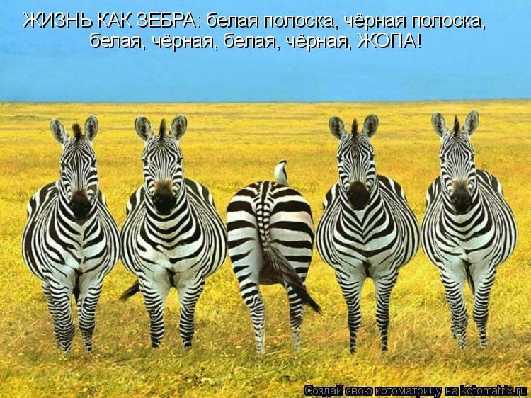 Котоматрица: ЖИЗНЬ КАК ЗЕБРА: белая полоска, чёрная полоска, белая, чёрная, белая, чёрная, ЖОПА!