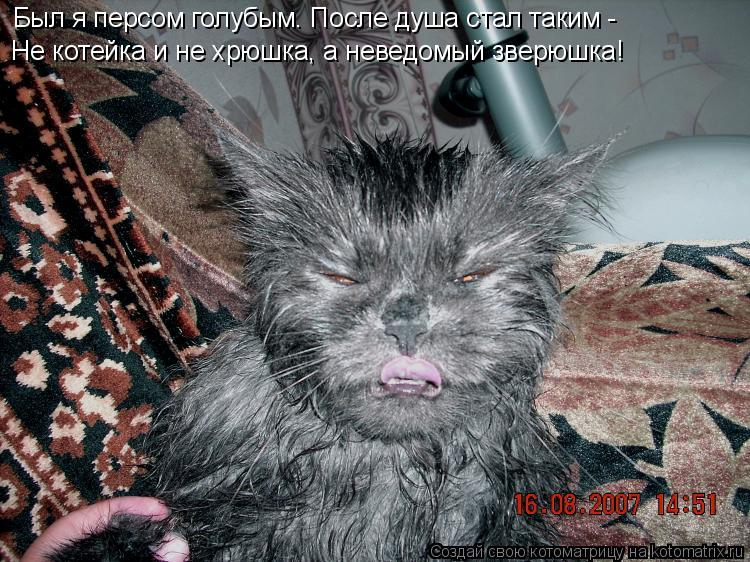 Котоматрица: Был я персом голубым. После душа стал таким -  Не котейка и не хрюшка, а неведомый зверюшка!