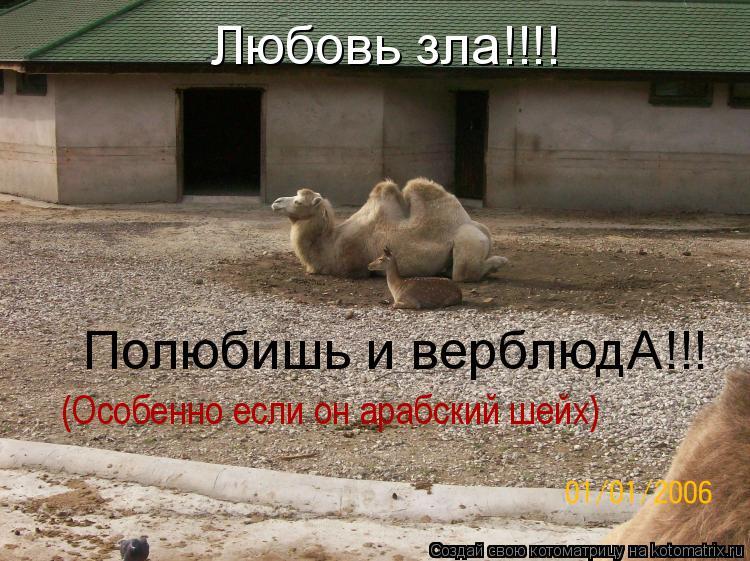 Котоматрица: Любовь зла!!!! Полюбишь и верблюдА!!! (Особенно если он арабский шейх)
